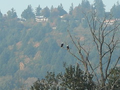 Two bald eagles on a Ross Island snag