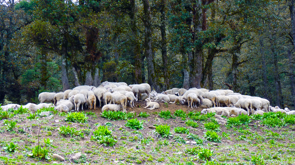 a tired herd of sheep resting before crossing tree line into meadows for summers