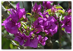 Bougainvillea (anakayer - [temporarily off...!] اناكاىءر) Tags: flower nature nikon bougainvillea d90 anakayer