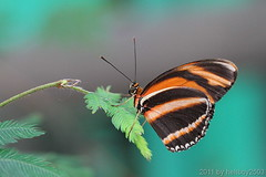 Schmetterling 21 (hellboy2503) Tags: orange flower nature canon butterfly germany top natur butterflies photographers blumen images 100mm gelb 7d getty blau falter makro bltter gettyimages jrg schmetterling nektar gettyimagescallforartists gettyimagesartistpicks hellboy2503