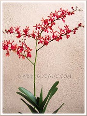 Beautiful spray of red orchids (ID please?)
