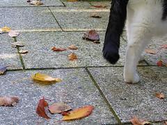 leave leaves (Caroliwen) Tags: autumn holland dutch leaves cat canon leaf kat herfst kitty blad bladeren