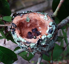 NASCERAM!!!!!!!!  So 2 filhotes de Beija-Flor... (Maria Alice Santiago) Tags: brasil naturethroughthelens mariaalicedotasantiago