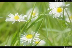 Fairy Tale Moment (HavannahA28 (busy)) Tags: summer white plant blur flower green nature grass yellow glow sommer natur pflanze gelb daisy gras grn blume gnseblmchen weis glanz