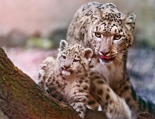 無料写真素材, 動物 , 豹・ヒョウ, 雪豹・ユキヒョウ, 動物  親子