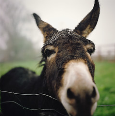 a soulful kind of fellow (manyfires) Tags: ireland portrait film animal closeup rural mediumformat square donkey eire hasselblad burro pasture grazing hasselblad500cm ballyportrycastle animalscape ilovehisears andhiswetmopofaforehead