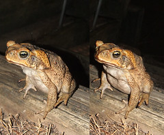 Cane Toad free view cross eye Stereo Pair (Color 3D Photo) Tags: blue red color colour eye set puppy print poster photography glasses photo stereoscopic 3d high eyes puppies cross kylie image pair side large cyan deep twin anaglyph pop full stereo illusion photograph definition pairs resolution colored format eyed lollipop mole parallel coloured lolli depth moll crossed gobbles gobblez lollimoll lollimole