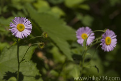 """Aster or Showy Fleabane • <a style=""""font-size:0.8em;"""" href=""""http://www.flickr.com/photos/63501323@N07/6338870226/"""" target=""""_blank"""">View on Flickr</a>"""