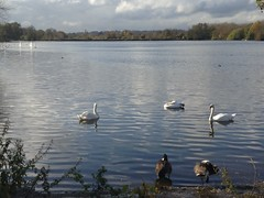 Swans and Sunny Spells (Rafael Lorenzo) Tags: lake swan rickmansworth aquadrome