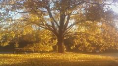 autumn leaves falling (Mr.  Mark) Tags: autumn tree fall nature beautiful leaves yellow video markboucher