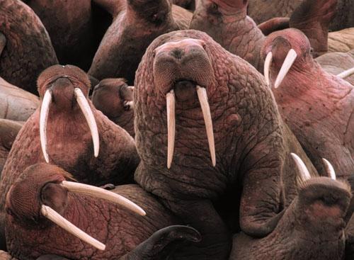 Walrus_Togiak_NWR_Dillingham_Alaska.jpg