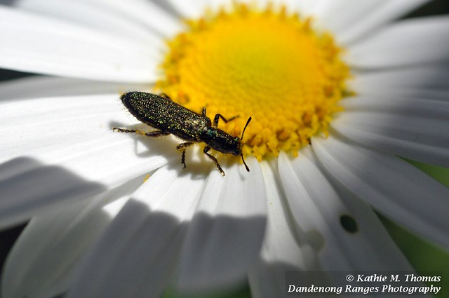 Speckled Green bug on daisy