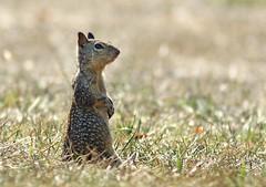 Ground Squirrel (AnayTarnekar) Tags: coyote