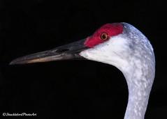 Close-up (ShacklefordPhotoArt) Tags: bird nature florida wildlife westpalmbeach avian sandhillcrane naturesfinest gruscanadensis okeeheelee okeeheeleenaturepreserve ringexcellence artistoftheyearlevel2 peregrino27life bbng