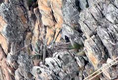 a áquia chilena [1280x768 (Daniel Samonte) Tags: aves da serra pássaros canastra danielsilvasantos estanciadefurnas danielsamonte