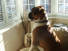 Bella Window (2) (Linnie_E) Tags: dog cute window funny boxer bella pup edwards alert jowls