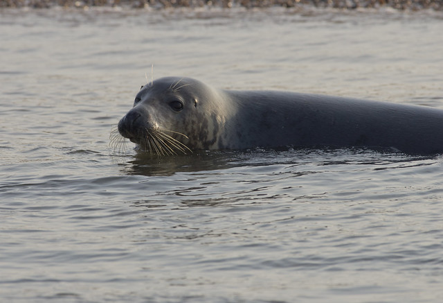 blakeney grey seal beached in water