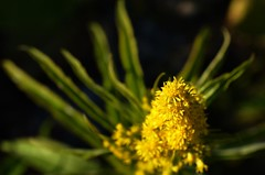 The tip of the flower (Beckywithasmile) Tags: november flower fall yellow nikon hokkaido dof      2011 project365 beckywithasmile nikond5100