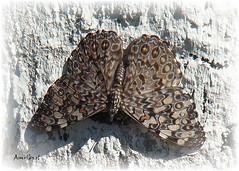 Butterfly on trunk (Arlete M) Tags: brazil naturaleza nature brasil butterfly insect natureza inseto borboleta trunk tronco hamadryasfebrua estaladeira mygearandme