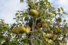 Kermes Eiche- Quercus coccifera (Marlis1) Tags: trees spain catalunya tortosa acorns marlies steineiche quercuscoccifera buchengewchse coscoll fagcies kermeseiche cochenilleschildluse