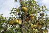 Kermes Eiche- Quercus coccifera (Marlis1) Tags: trees spain catalunya tortosa acorns marlies steineiche quercuscoccifera buchengewächse coscoll fagàcies kermeseiche cochenilleschildläuse