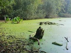 La Louisiane ? (bowb59) Tags: marais foret nord bois mousse souche boue marecage raismes