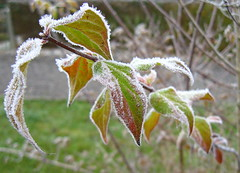 Raureif. (Karabelso) Tags: wood autumn fall leaves canon frost hoarfrost laub herbst powershot raureif gehölz