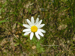 Mayweed, Stinking Chamomile, Dog Fennel - Anthemis cotula (USWildflowers) Tags: smokymountains mayweed