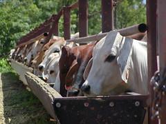 Cattle, Indonesia (ACIAR Australia) Tags: asia cattle cows feeding beef labour feed livestock trough easia taken2001 sourceaciar publishedannualreport200809