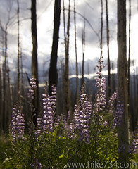 "Lupine in the burned forest • <a style=""font-size:0.8em;"" href=""http://www.flickr.com/photos/63501323@N07/6420032855/"" target=""_blank"">View on Flickr</a>"