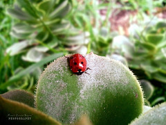 little lady (.•۫◦۪°•OhSoBoHo•۫◦۪°•) Tags: cameraphone sanfrancisco california red green love nature leaf pretty phonepic beetle oceanbeach ladybird ladybug rescuemission windowsphone boinde