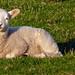 Spring Lamb, Storeton, Wirral.