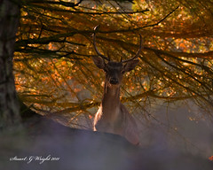 Sun Rise Buck (Stuart G Wright Photography (Decorating for a whil) Tags: stag g wildlife stuart deer cannock chase wright staffordshire stafford
