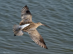 Curlew in flight (roychurchill (local patch birder)) Tags: bird birds wildlife devon bif barnstaple curlew