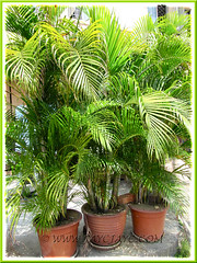 Dypsis lutescens (Golden Yellow Palm) in containers