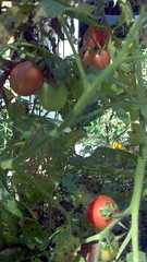 Alabama tomatoes