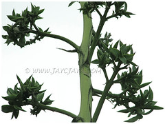 Agave desmettiana (Smooth Agave, Smooth/Dwarf Century Plant) with numerous bulbils on flower stalk - August 12 2011