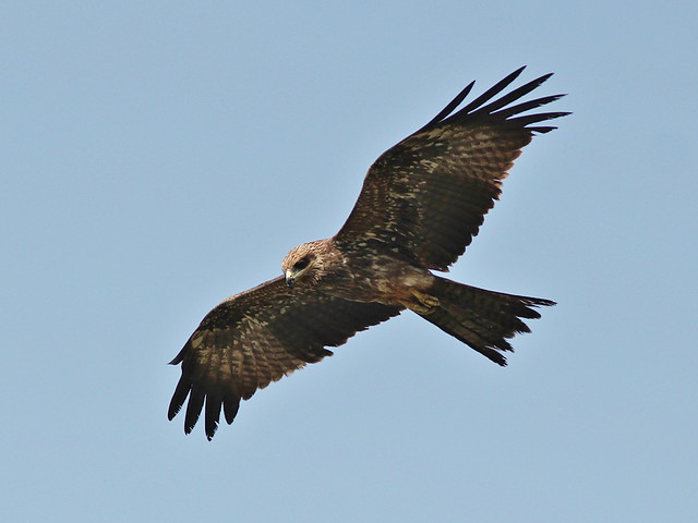 Black (Pariah) Kite