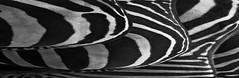 Curven in B&W (Jean de la Tête) Tags: bw art zoo zwartwit arnhem dierentuin canon60d lijnenencurven