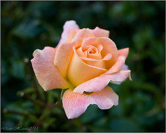 October-Morn-1 (DaveH Photography) Tags: rose dave manchester photography cream peach bud harris