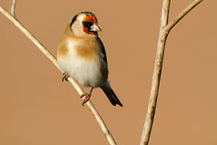 European Goldfinch (Carduelis carduelis) (m. geven) Tags: autumn bird fall nature animal fauna colorful feeding eating thistle goldfinch herfst nederland thenetherlands natuur colourful immature juvenile dier avian vogel avifauna kleurrijk distel gelderland putter fringillidae foraging uiterwaard nld najaar cardueliscarduelis europeangoldfinch jaarvogel onvolwassen kaardebol liemers passerine stieglitz zangvogel nazomer chardonneret geldersepoort firstwinter migratingbird gardenbird etend rivierengebied distelvink breedingbird tuinvogel riverforelands fourageren jeugdkleed broedvogel doortrekker eerstewinter vinkachtige gemeentezevenaar foeragerend parkvogel nederlandthenetherlandsniederlande distelzaad