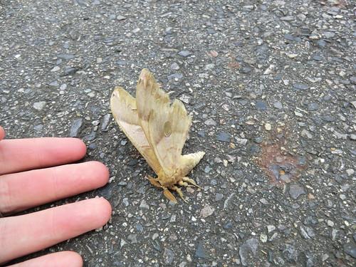 Tired giant moth