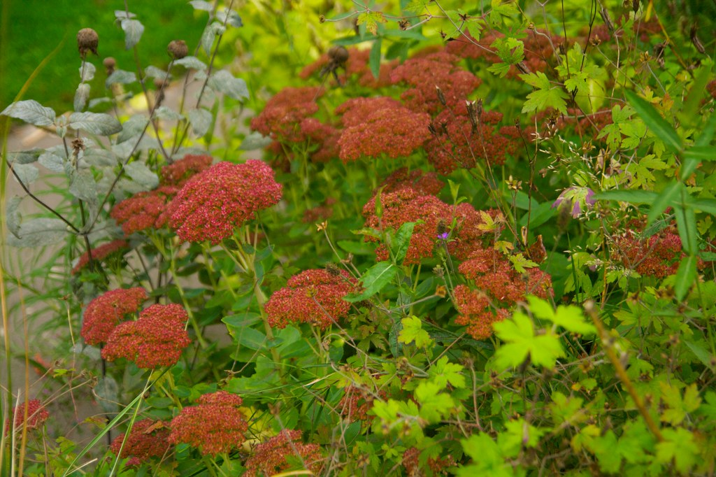 sedum autumn joy  634