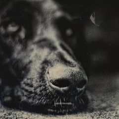 (sommerpfuetze) Tags: portrait bw dog texture animal square nose mono babsi sw nase petrait brbel schnute damenbart thelittledoglaughed mittagsruhe schnuffelchen ldlportraits hundiges