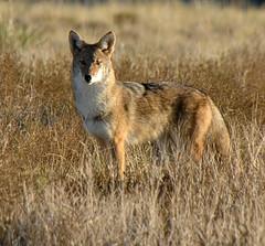 Coyote (truan) Tags: coyote animal mammal colorado canine predator