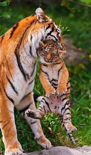 無料写真素材|動物|虎・トラ|動物親子