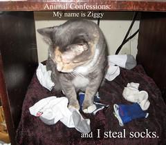 Animal Confessions: My name is Ziggy and I steal socks. (ziggywiggy1(SHELLIE B.)) Tags: pet cats cat feline funny catscatscats cutecat funnyhaha crazycatpeople catsarecomical catsuluv funnyphotosofanykind catnipaddicts catsandkittygatosgatinhas