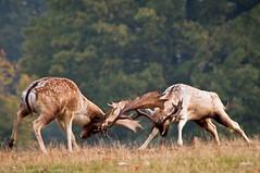 Deer Rut Knole Park Sevenoaks (ttaylor Photography) Tags: bestofmywinners blinkagain