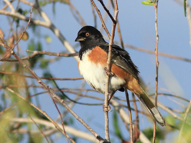 Red-eyed Eastern Towhee 5-20111023