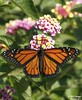 Monarch / Lantana - Bayou Courtableau, Louisiana (Image Hunter 1) Tags: pink red orange flower green nature colors leaves yellow butterfly leaf louisiana bayou swamp monarch greenery marsh lantana t2i bayoucourtableau canont2i